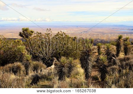 High desert landscape on a plateau at 5,000 feet elevation including Juniper Trees, Joshua Trees, Yucca Plants, and Sagebrush taken at the Mojave Desert in Tehachapi Pass, CA