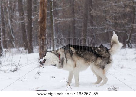 Siberian Husky shakes off the snow. Siberian Husky frolics in the winter forest.