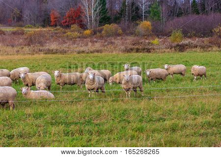 Flock of sheep staring on a fall day in Wisconsin.