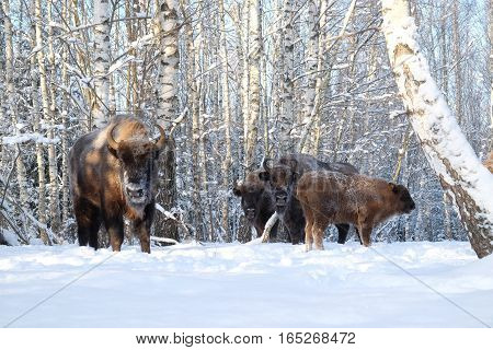 European bisons (Wisent Bison bonasus) in winter forest. National park Ugra Kaluga region Russia. December 2016