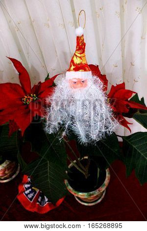 Flower Christmas star, poinsettia and Santa Claus in the Christmas composition
