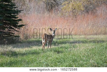Beautiful doe standing in a fall country field