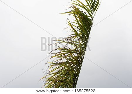 Leaf bending with wind under white cloudy sky