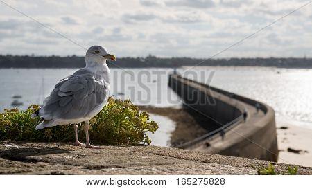 Grey seagull and Saint-Malo lighthouse, Bretagne France