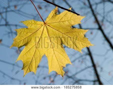 Last yellow maple leaf on tree branch in autumn day closeup