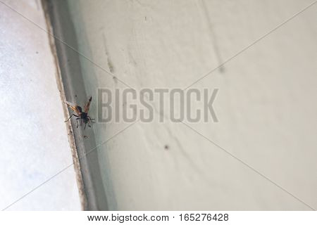 Dangerous black and yellow wasp landed on beige wall corner