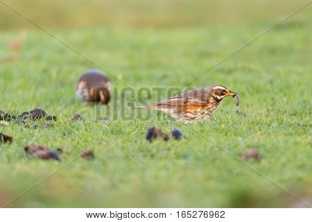 Redwing (Turdus iliacus) with worm in beak. Small thrush (Turdidae) feeding on grassland in the New Forest UK showing red flanks and light stripe above the eye