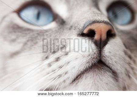 Blue Eyes Cat Pink Nose
