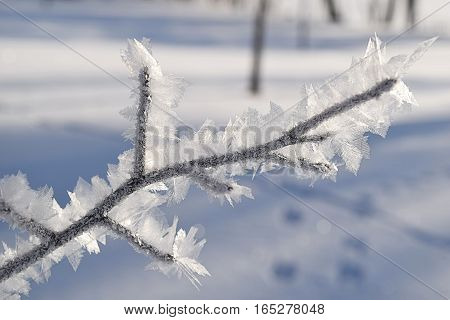 Heavily frosted tree branch on a winter morning.