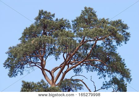 Green pine top with lot cones isolated on blue cloudless sky