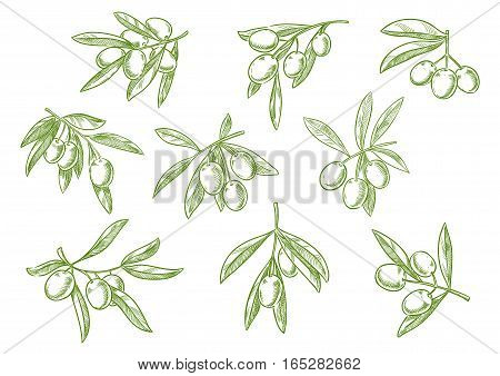 Sketched set of olive tree branch with green olives bunch. Vector isolated icon of vegetarian vegetable food salad ingredient for seasoning pack design. Symbol for olive oil bottle label or Italian, Mediterranean, Greek or Spanish cuisine