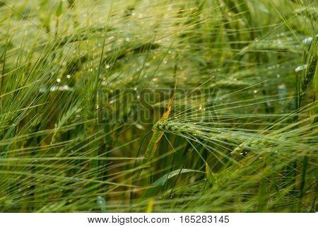 green crop field groving up at summer