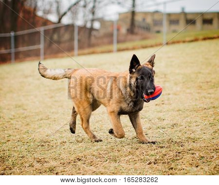 One adorable Belgian Malinois puppy playing fetch with a football outside at a dog park off leash.