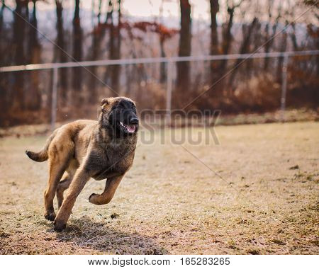 Belgian Malinois puppy running happily outside unleashed at dog park