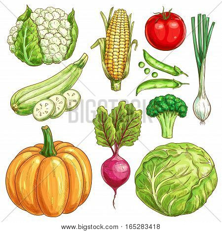 Vegetables sketch icons set of farmer market veggies. Vector isolated cauliflower and corn, zucchini squash and green pea, tomato and onion leek, pumpkin, beet and broccoli with white cabbage. Organic fresh vegetarian food