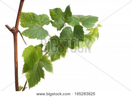 Young green grape branch isolated on white background