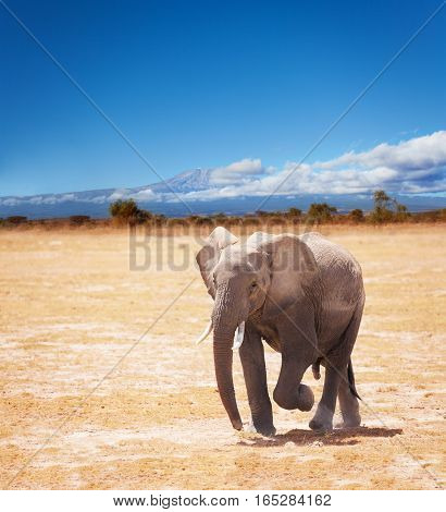 Beautiful picture of young African elephant on Kilimanjaro mountain background in National park of Kenya