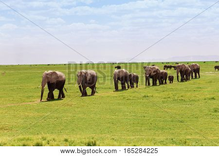 Large family of African elephants moving in a line towards the swamps of Amboseli National Park, Kenya