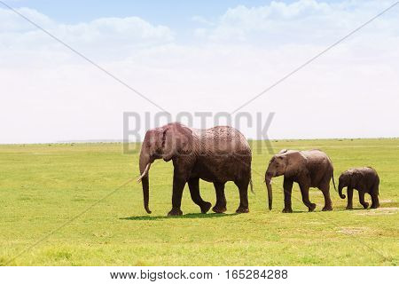 Three African elephants, adult, young and baby cubs, moving towards the swamps according to height