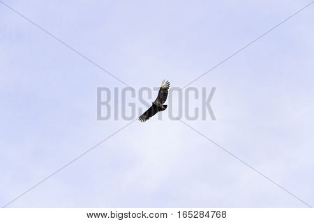 Black Vulture banking over New England farm wings high