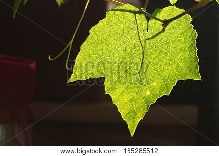 Semi transparent single grape leaf on dark background