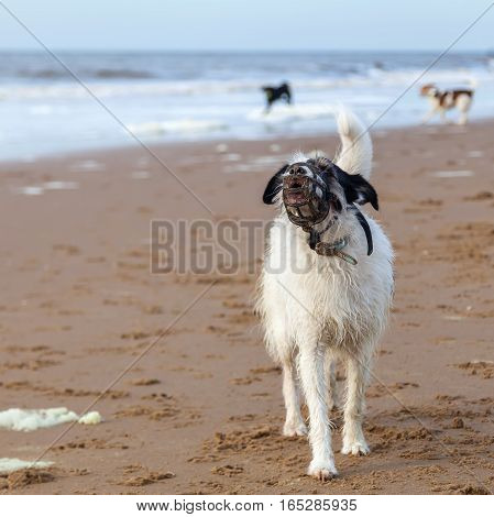 dog with a muzzle is barking at the beach poster