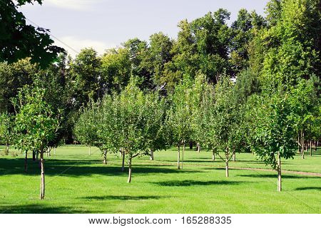 young garden of several rows of fruit trees with trimmed grass