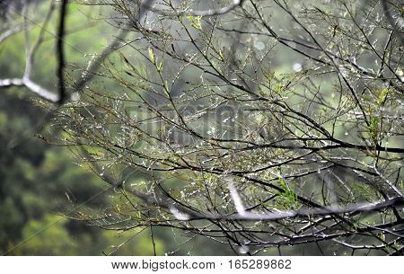 Wet tree branches in the forest with water drops and blurred background. Rain drops on a branch of a tree shallow depth of field.
