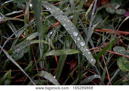 Water drops on the green grass background.. Dew on a grass the summer. Fresh green grass close up image. Rain Drop on Green Leaf.