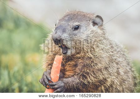 Small Woodchuck (Marmota Monax) holding carrot in hands
