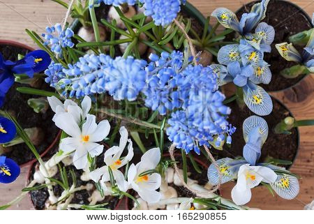 Flayt Lay Of Spring Flowers Like Grape Hyacinth And Crocus. Brown And Rustic Wooden Background. Card For Season Greetings