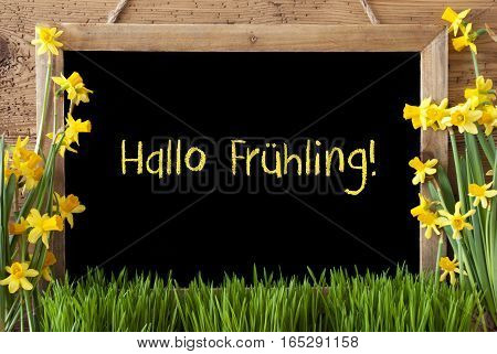 Blackboard With German Text Hallo Fruehling Means Hello Spring. Spring Flowers Nacissus Or Daffodil With Grass. Rustic Aged Wooden Background.