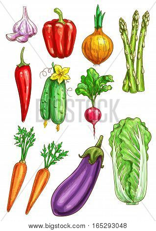 Vegetables sketch of garlic, bell and chili pepper, onion leek and asparagus, cucumber, radish and carrot, eggplant and chinese cabbage napa. Vegetarian farm fresh organic veggies vector isolated icons
