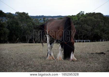 Horse eating grass on Churchill Island Heritage Farm (Victoria Australia).