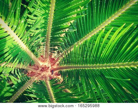 Picture of center of Cycad plam in the garden