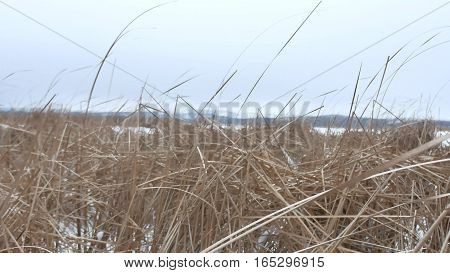 dry grass marsh winter reed nature beautiful landscape