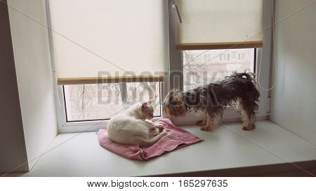 cat and funny dog Yorkshire Terrier sitting on the sill of a window