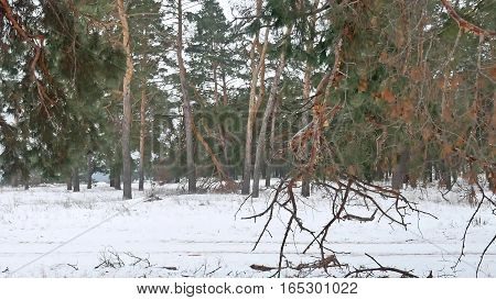 trees forest christmas tree nature, snow frost cold landscape winter