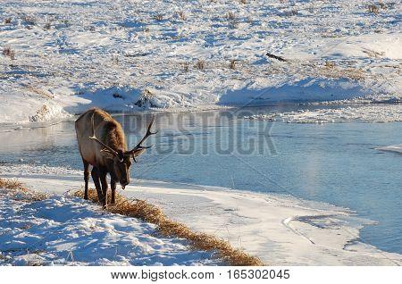 Beautiful Elk Buck on the National Elk Refuge in Jackson, Wyoming