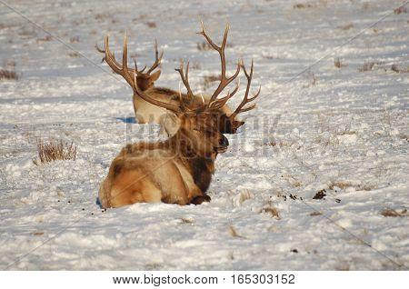 Elk Bulks Laying down at the National Elk Refuge in Wyoming