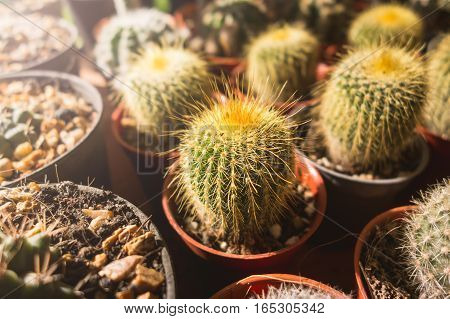 Cactus Flowers In Pots , Colorful Flowers Pots, Flowers Shop , Row Of Cactus Flowers