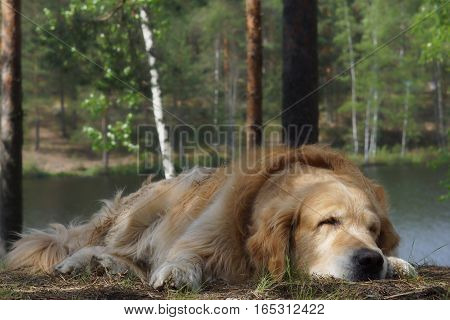 The dog breed golden retriever lying and sleeping on a hill on a background of a forest lake and trees