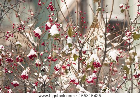 The guelder-rose berries powdered with the dropped-out snow