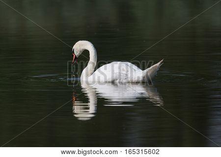 mirrored mute swan (Cygnus olor) swimming in dark water
