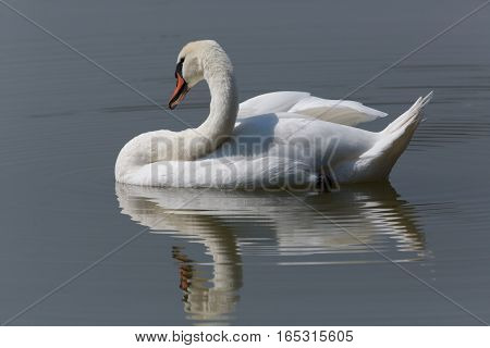 Perfectly mirrored mute swan (Cygnus olor) swimming
