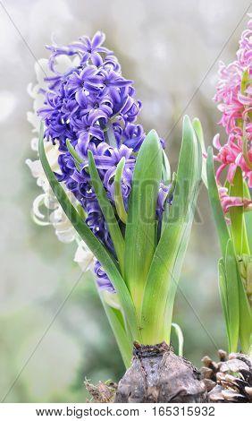 close on pretty blue hyacinths in garden