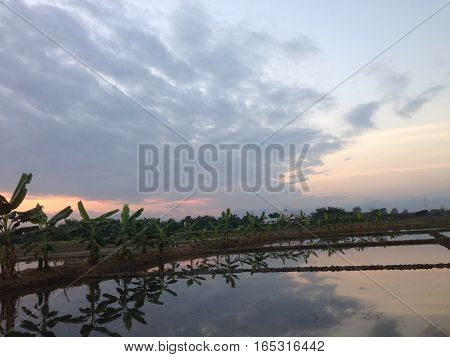sunset time at the cornfield paddy field December