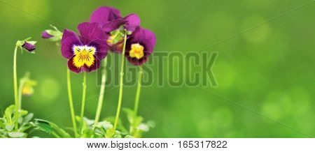 little purple  violas on green background in panoramic format