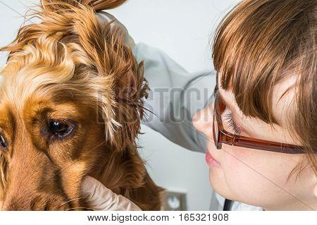 Veterinarian Checks Ears To A Dog