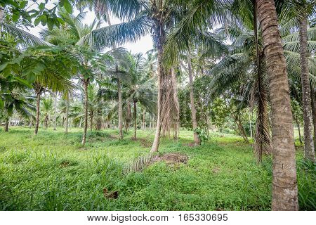 Beautiful landscape of coconut plantation in tropical country